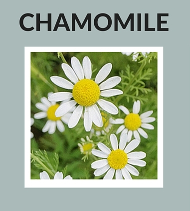 Chamomile Natural Ingredients for Skin Care